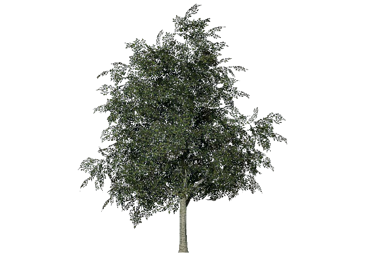 3D Trees - Bouleau - ACCA software