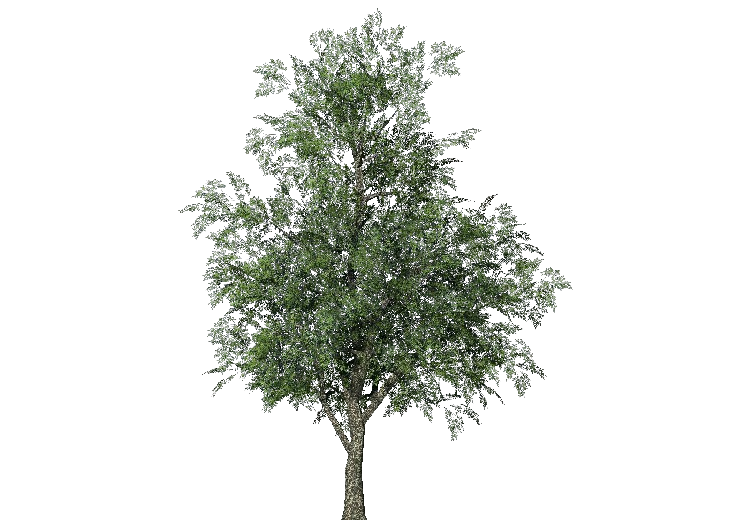 3D Trees - Frêne - ACCA software