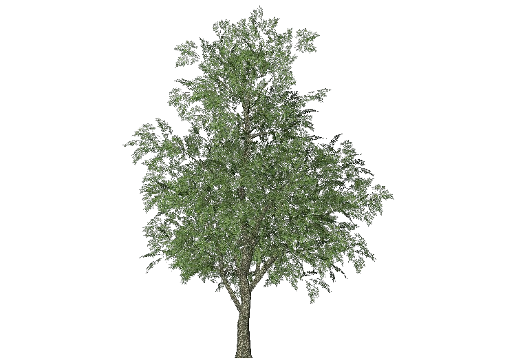 Arbres 3D - Frêne - ACCA software