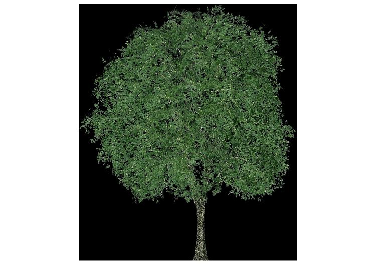 Alberi 3d tiglio selvatico acca software for Tiglio albero
